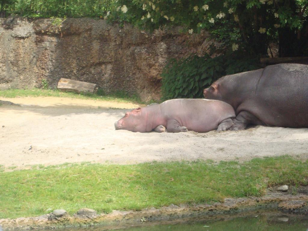 059 Baby Hippo